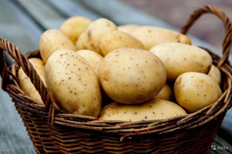 Сорт картофеля гала: характеристика