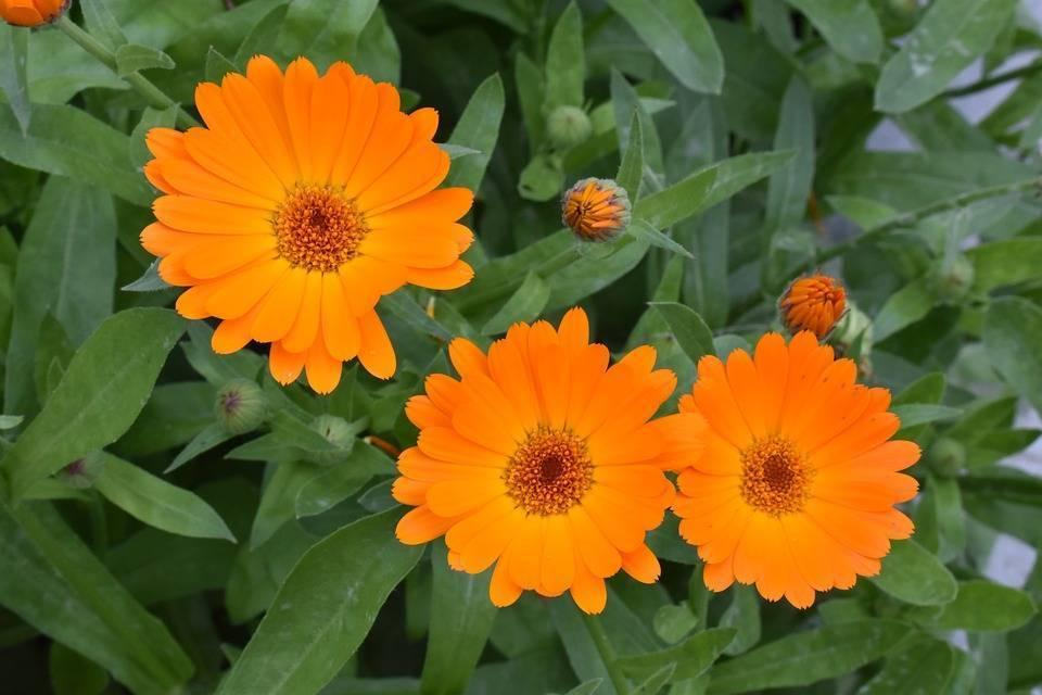 Календула: выращивание из семян, когда сажать на рассаду и в открытый грунт, посадка и уход за ноготками