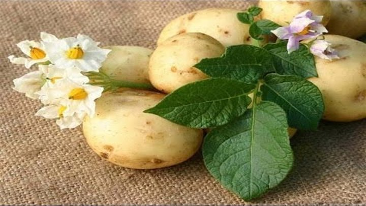Как и когда сажать картофель в открытый грунт