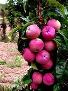 Яблоня колонновидная валюта: описание и характеристика сорта, посадка и уход