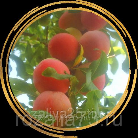 Слива персиковая мичурина: описание сорта, фото, отзывы