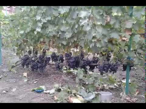 Виноград фиолетовый ранний описание сорта фото отзывы