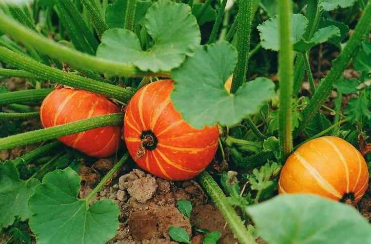 Посадка тыквы семенами в открытый грунт весной - правила и сроки посадки