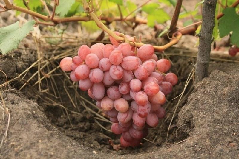 средние сорта винограда фото и описание топливо самое молодое