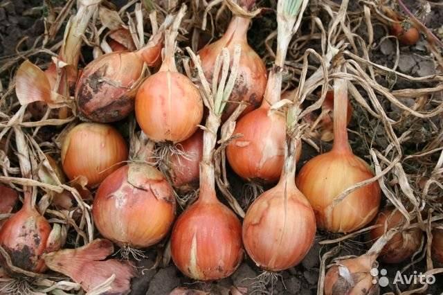 Как вырастить лук из семян