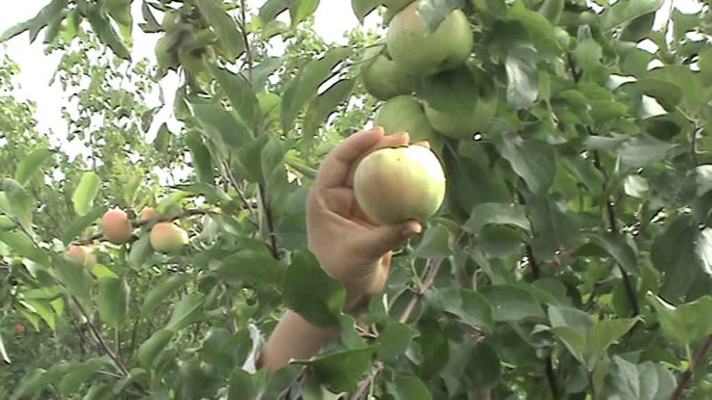 О яблоне имрус, описание сорта, характеристики, агротехника выращивания