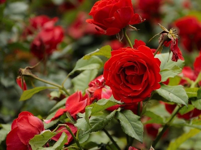 Как и когда использовать удобрение для роз