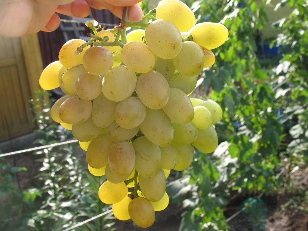 """Виноград """"восторг идеальный"""": описание сорта, уход, фото и подробная характеристика"""