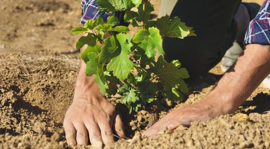 Пересадка винограда на другое место: как и когда следует пересаживать виноград. советы и инструкции для начинающих (110 фото)