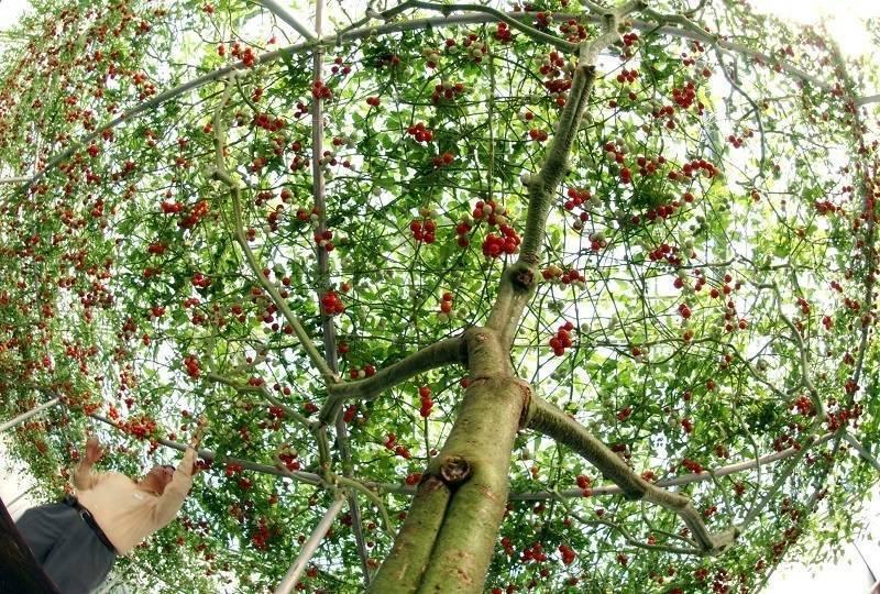 томатное дерево фото описание национальные блюда