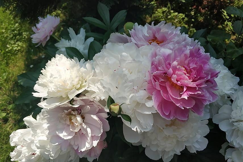 Все об уходе за пионом после цветения в июле: что делать с пионами в конце июля