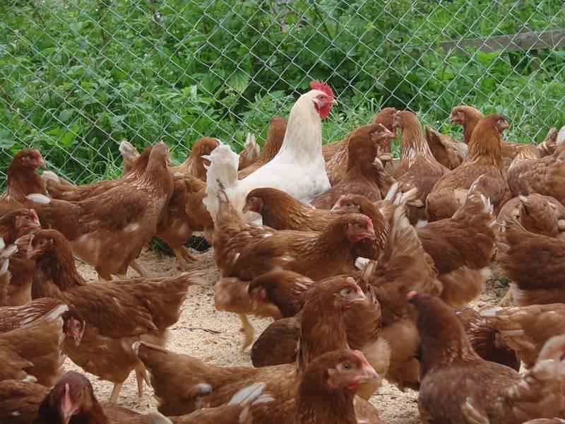 Тонкости выбора хорошей курицы несушки