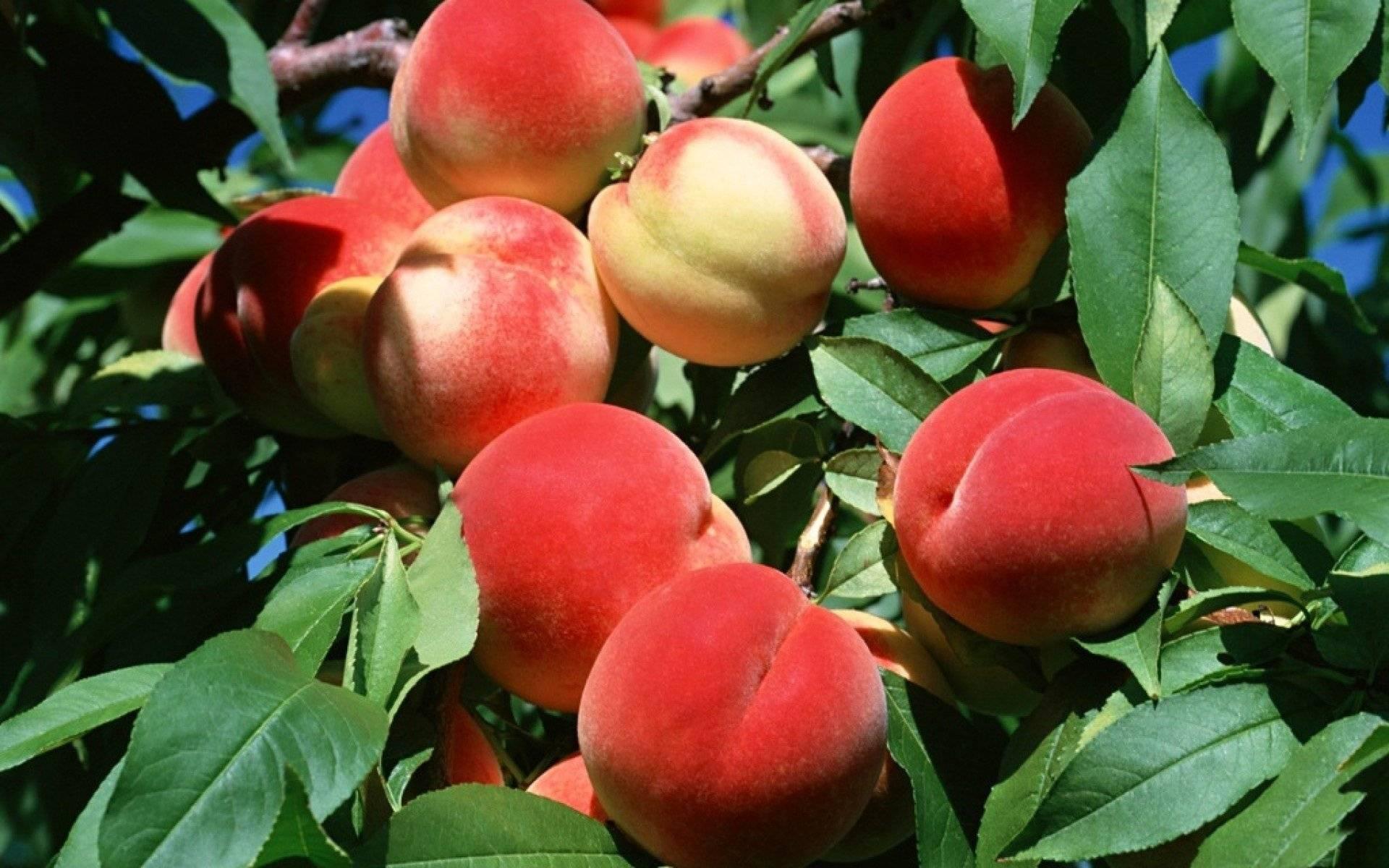 Осень — отличное время для посадки персика