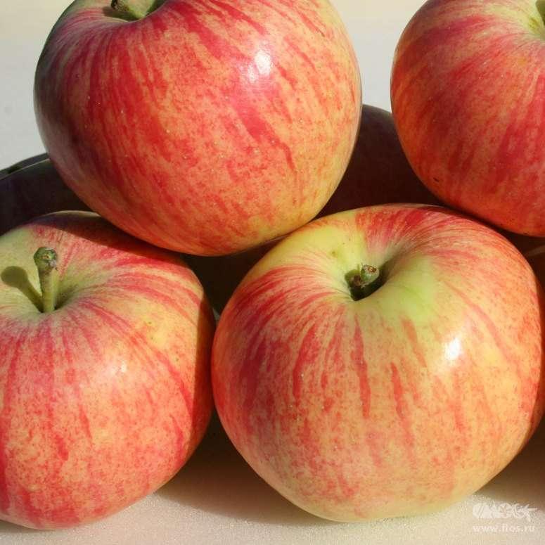 Скороплодная яблоня орловское полесье