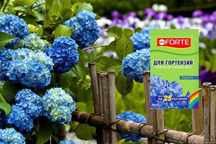 Красавица гортензия. чем лучше подкормить и как правильно поливать, чтобы цветы были ярче?