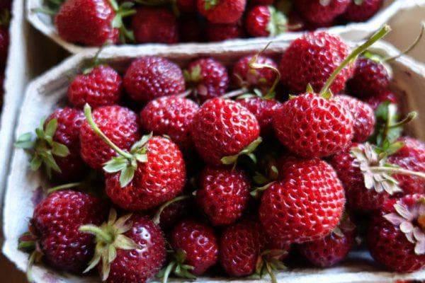 Земляника мице шиндлер: описание сорта, отзывы садоводов