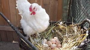 Как посадить курицу на яйца насильно