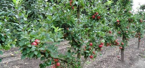Основные причины плохого роста у яблони. решение проблемы