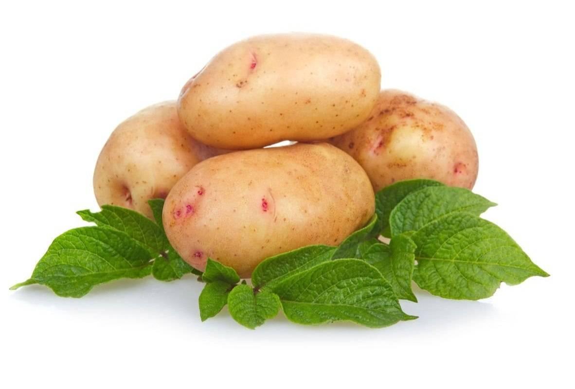 """Картофель """"сантана"""" - описание сорта, подробная характеристика и фото"""