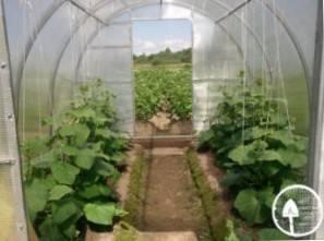 Когда сеять огурцы на рассаду для теплицы