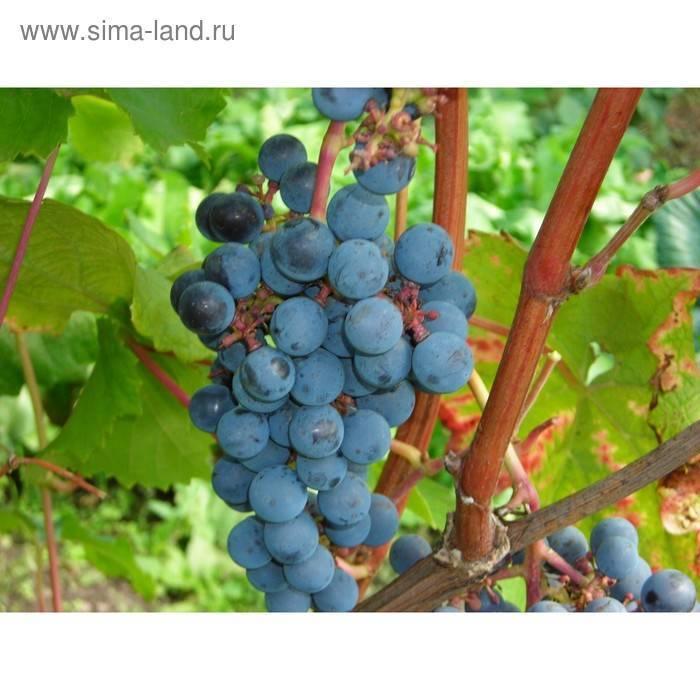Виноград амурский – его культурные формы и гибриды