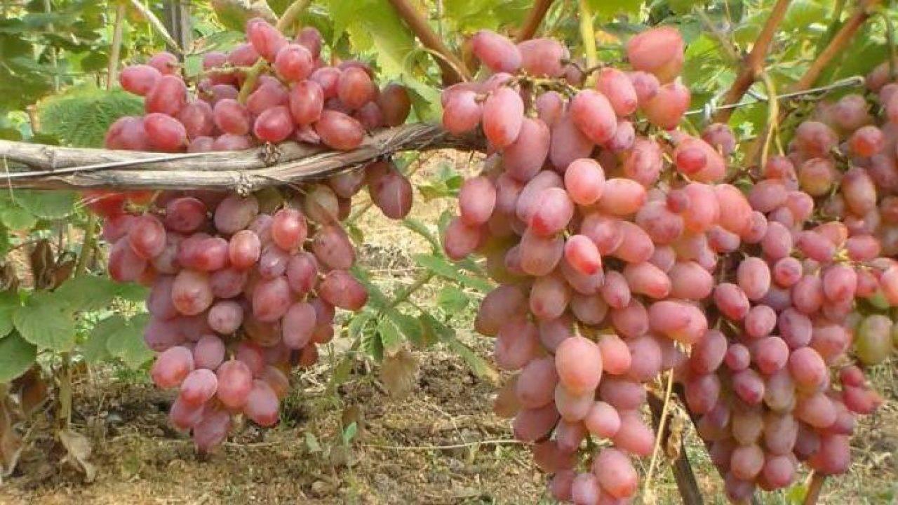 Гелиос виноград