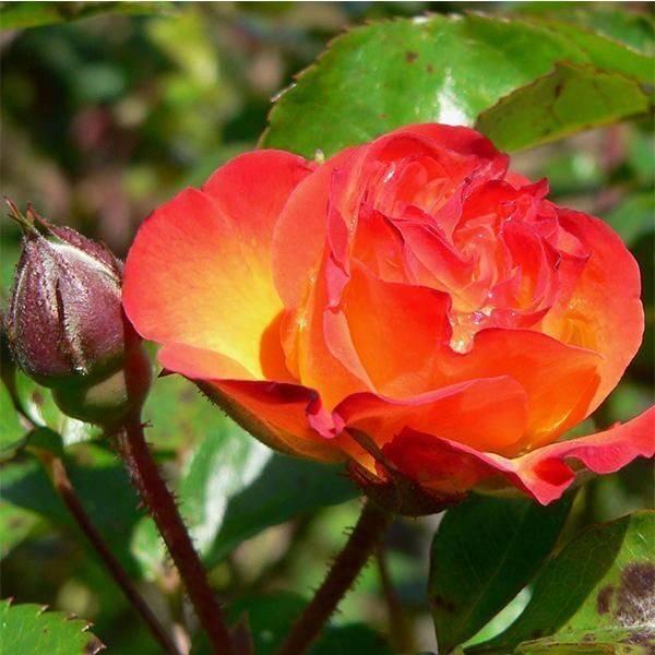 Грейс «grace»: описание абрикосовой розы дэвида остина и особенности выращивания
