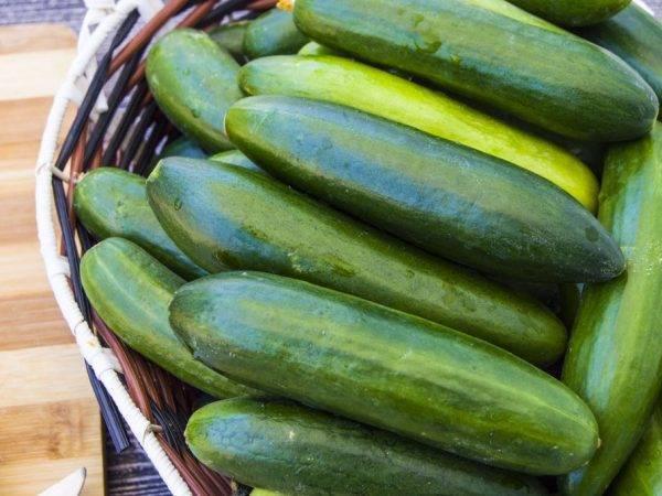 О самоопыляемых сортах огурцов для Подмосковья, выращиваемых в теплице