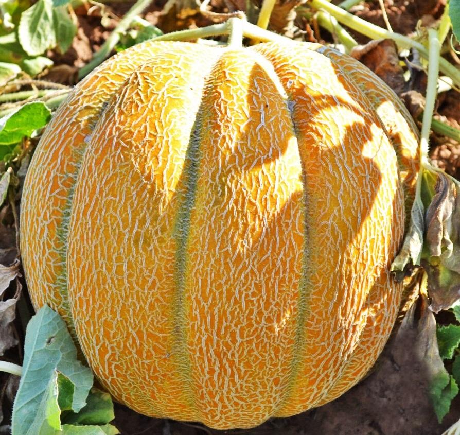 Все о сорте дыни Эфиопка: как выглядит, описание, агротехника, как вырастить