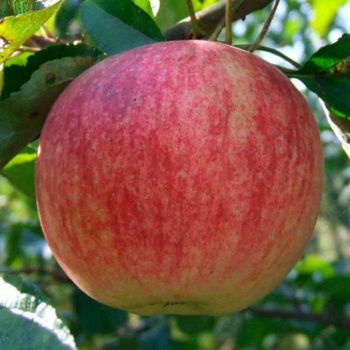 Летняя яблоня конфетное — уникальный сорт отечественной селекции
