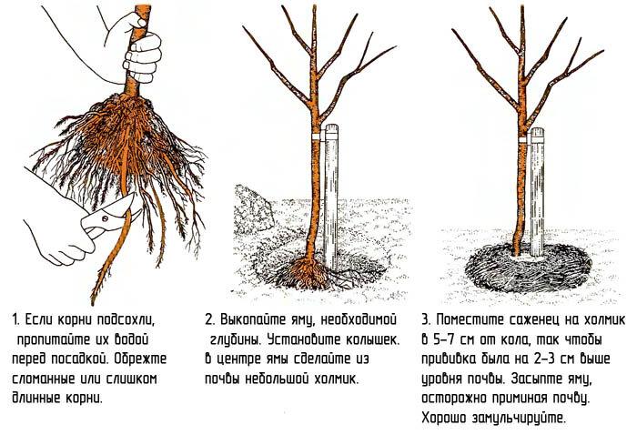 Посадка яблони весной своими руками - подробное описание!