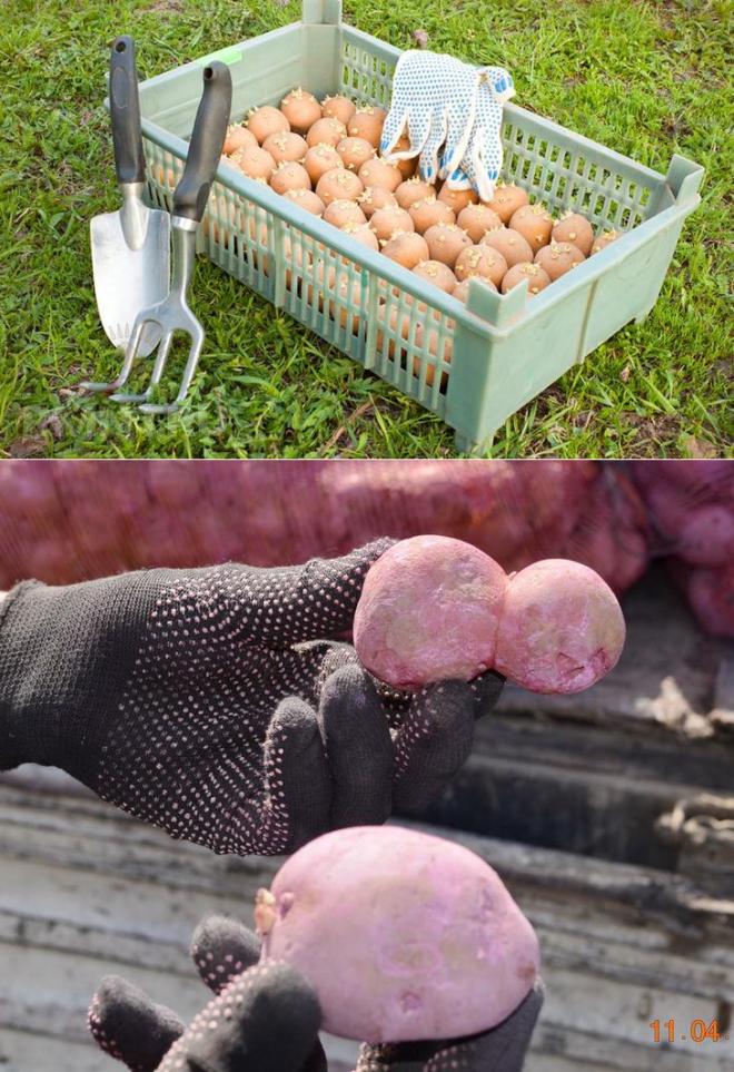 Способы обработки картофеля от картофельного жука и проволочника