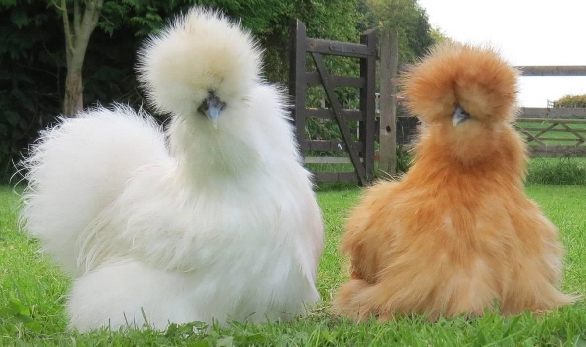Курчавые куры: описание породы и ее особенности, характеристики, нюансы выращивания и содержания