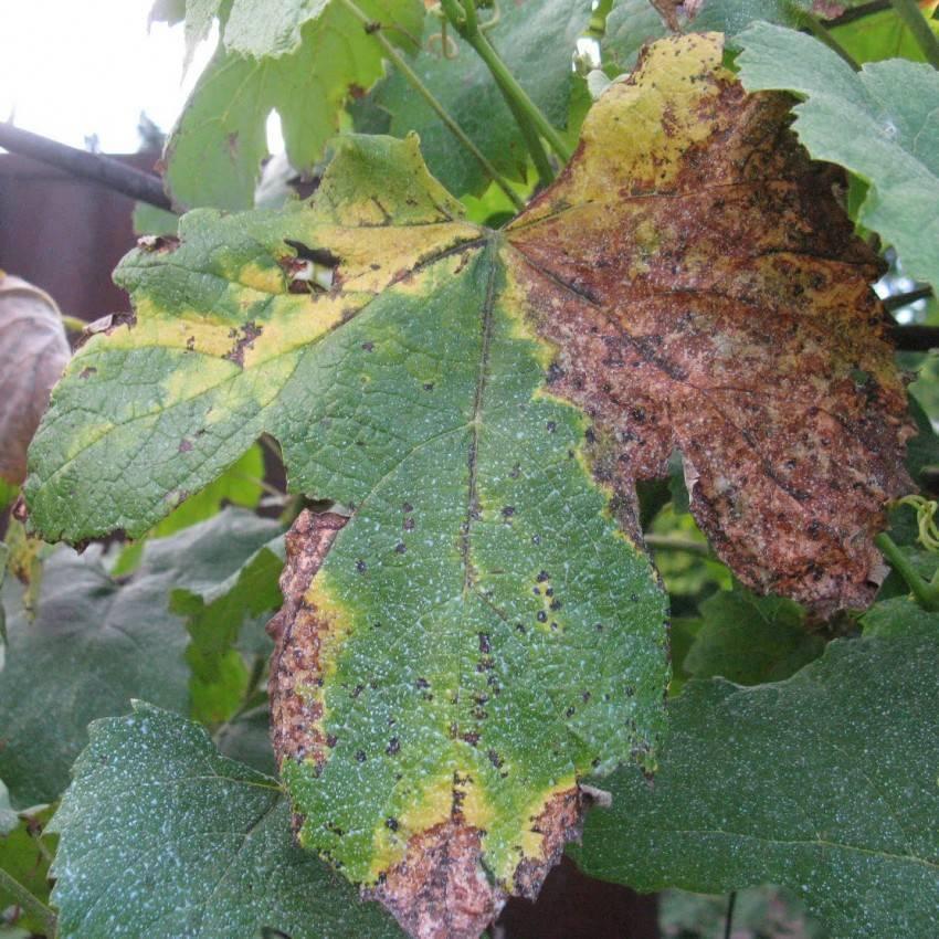 Весенняя обработка винограда от болезней – этапы и список препаратов