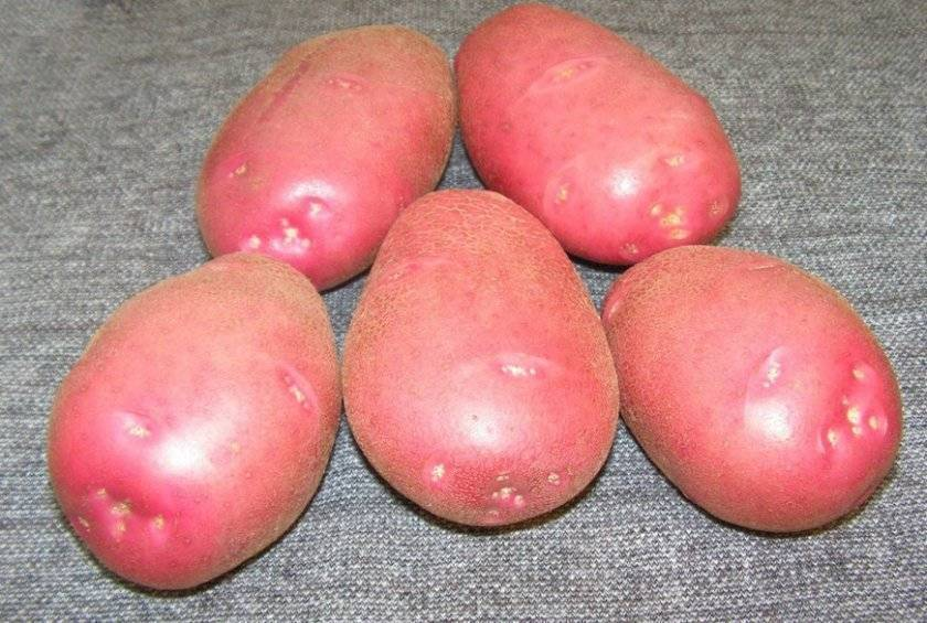 Картофель «серпанок»: описание сорта, фото и основные характеристики украинской картошки
