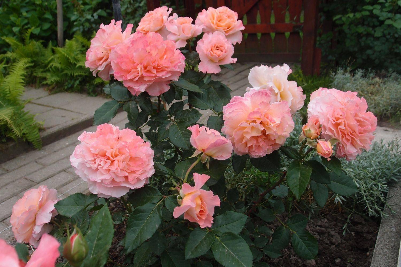 Описание и правила выращивания розы августа луиза