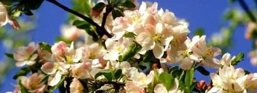 О цветении яблони: когда зацветает, сколько дней цветет (до какого числа)