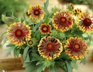 Гайлардия: описание и выращивание растения