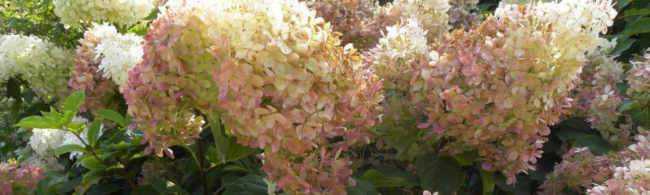 Гортензия фантом — особенности выращивания в открытом грунте