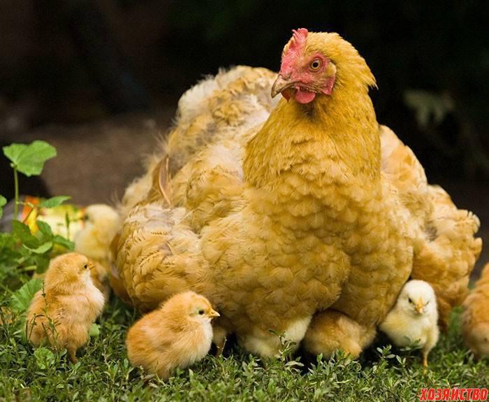 Куры клюют яйца: причина и что делать с этим начинающим птицеводам?