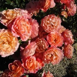 Роза сорта мари кюри: правила выращивания и способы размножения сорта