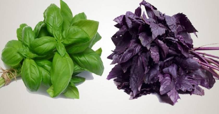 Какой базилик полезнее - зеленый или фиолетовый (красный), чем они отличаются: все о разнице между этими видами, а также можно ли совмещать их в блюдах?
