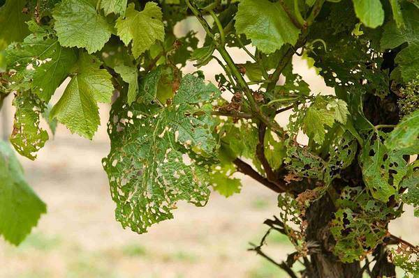 Болезни винограда и их лечение. обработка винограда от болезней и вредителей