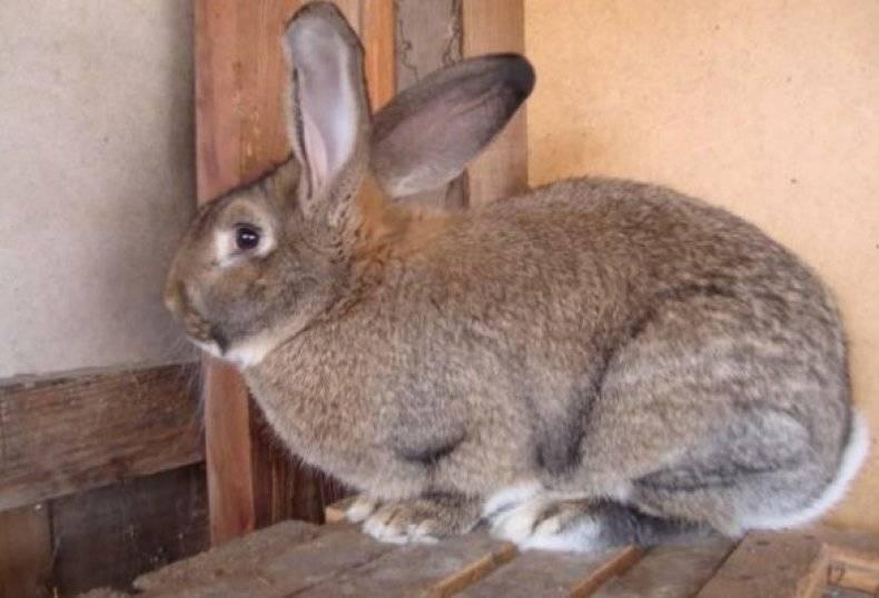 Белый великан порода кроликов: содержание и перспективы разведения