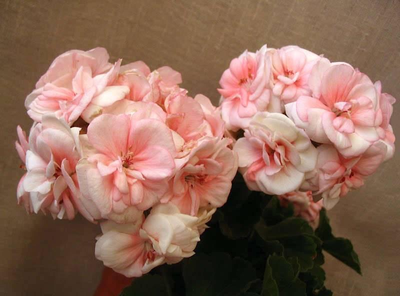 Неприхотливая красавица — пеларгония салмон: комтесс, квин, найт и принцесс