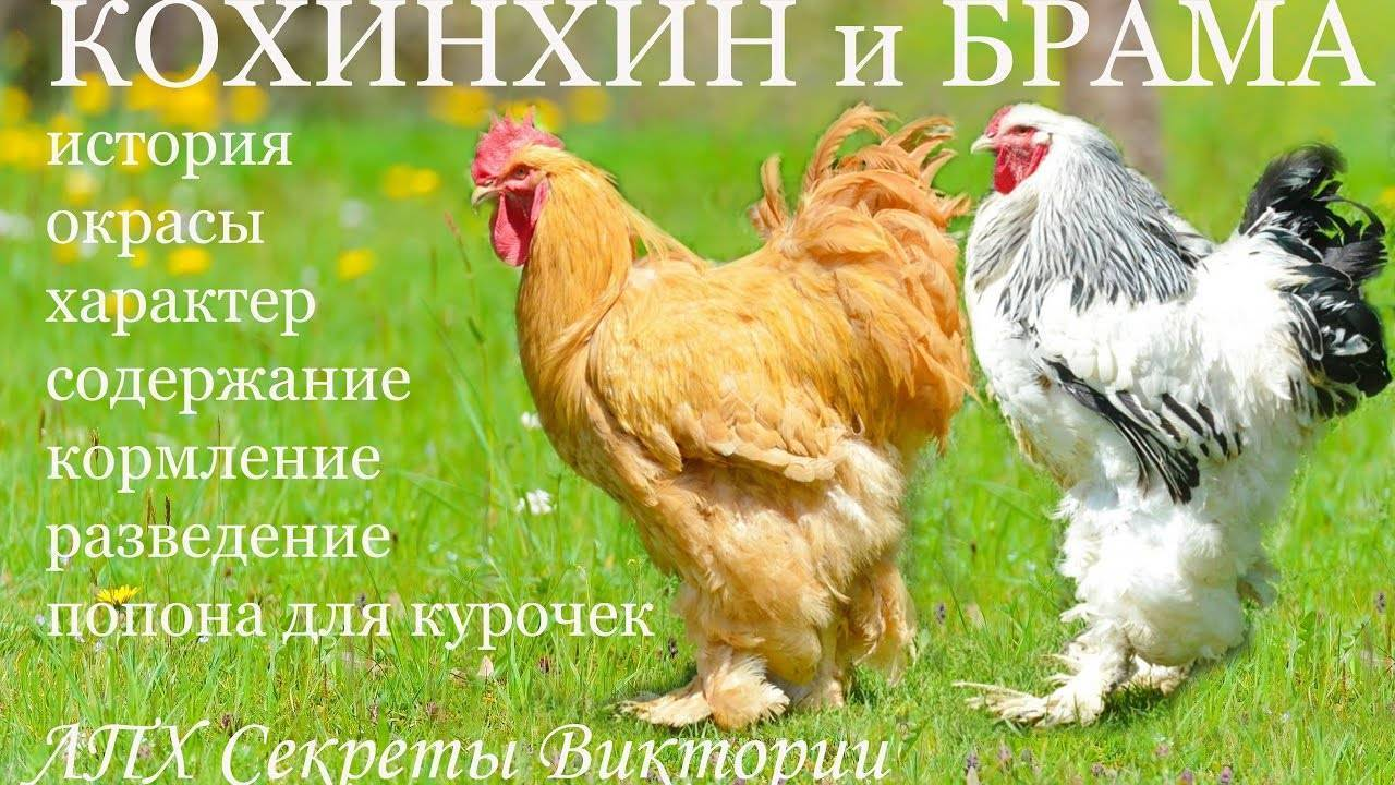 Кохинхин: порода кур, описание