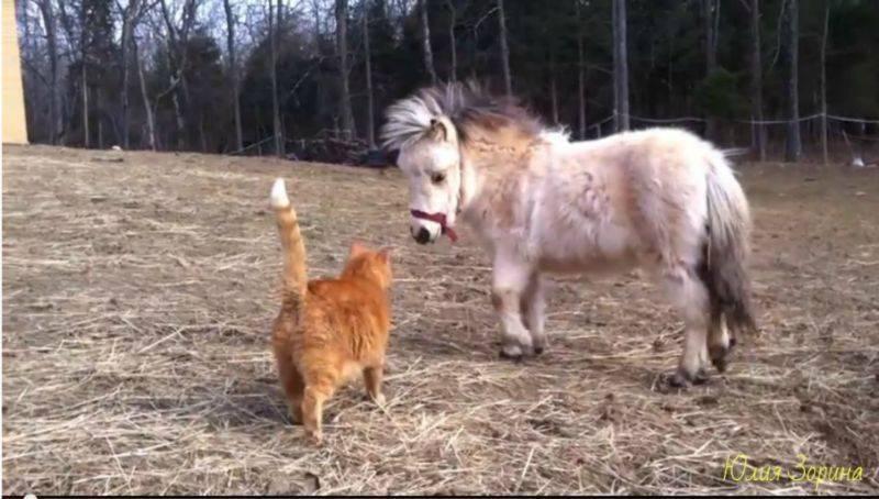 Миниатюрная лошадь - miniature horse - qwe.wiki