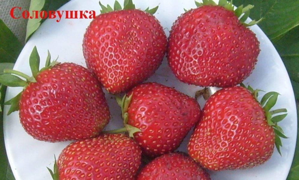 Земляника (крупноплодная) берегиня (9839): купить саженцы почтой в россии