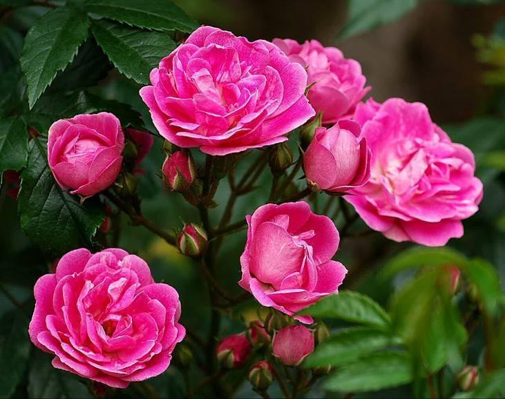 Выбираем розы для начинающих, почвопокровные, плетистые и парковые розы, посадка роз | сажаем сад