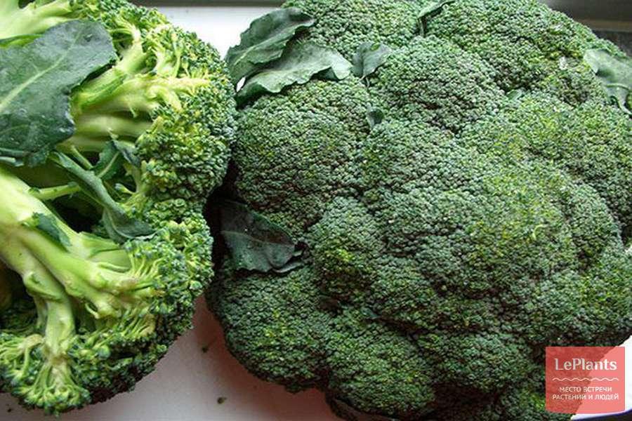 Посадите лучший сорт брокколи